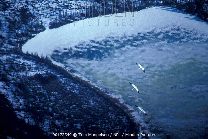 Whooping cranes (Grus americana) fly over freshwater marsh breeding grounds Wood Buffalo National Park, Alberta Canada  -  Tom Mangelsen/ npl