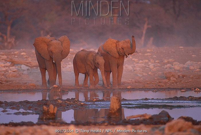 African elephants at water hole (Loxodonta africana) Etosha NP Namibia  -  Tony Heald/ npl