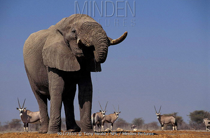 African elephant (Loxodonta africana) at waterhole with Oryx Etosha NP Namibia  -  Tony Heald/ npl