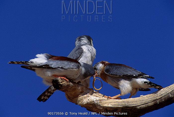 African pygmy falcons feed chick (Polihierax semitorquatus) Gemsbok NP South Africa  -  Tony Heald/ npl