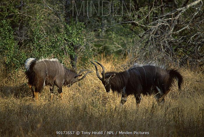 Nyala males displaying (Tragelaphus angasi) Kruger NP South Africa  -  Tony Heald/ npl
