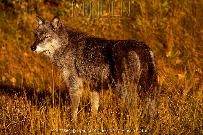 Grey wolf portrait (Canis lupus) captive Montana USA  -  Lynn M. Stone/ npl