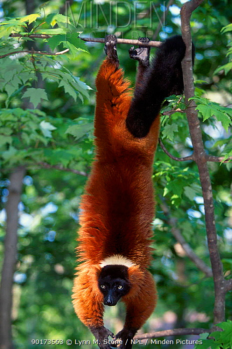 Red ruffed lemur hanging in tree (Varecia variegata ruber) Madag  -  Lynn M. Stone/ npl