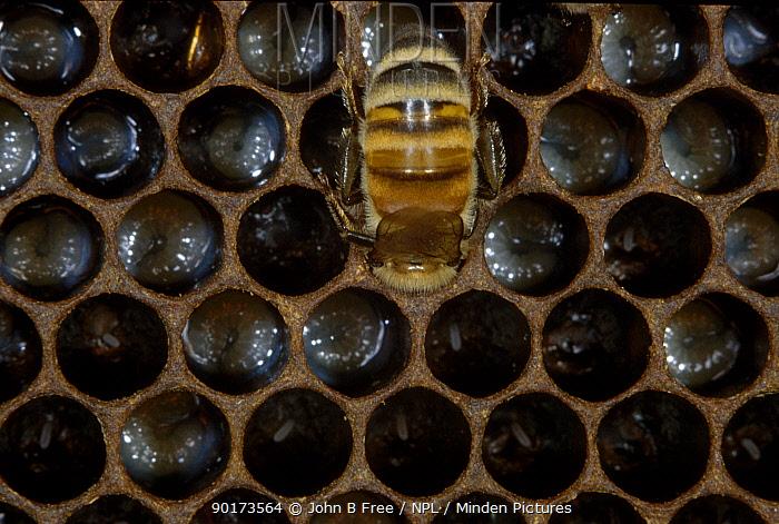 Honey bee worker feeding larvae (Apis mellifera) UK  -  John B Free/ npl