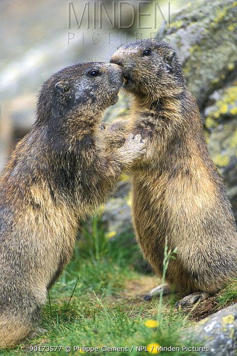 Alpine marmots interacting (Marmota marmota) Gran Paradiso NP, Italy  -  Philippe Clement/ npl