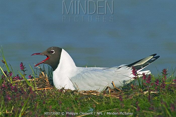 Black-headed gull calling on nest (Larus ridibundus) Belgium  -  Philippe Clement/ npl