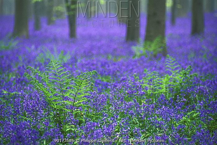 Bluebells flowering in woodland (Endymion nonscriptus) Belgium  -  Philippe Clement/ npl