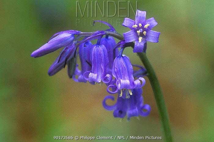 Bluebell flower stalk (Endymion nonscriptus) Belgium  -  Philippe Clement/ npl