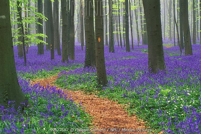 Path winding through Bluebell woodland (Endymion nonscriptus) Belgium  -  Philippe Clement/ npl