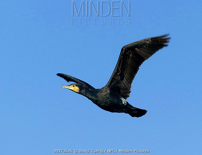 Common Cormorant (Phalacrocorax carbo) in flight, Lake Kerkini, Greece  -  David Tipling/ npl