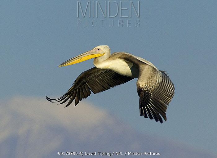 Juvenile Eastern White Pelican (Pelecanus onocrotalus) in flight, Greece  -  David Tipling/ npl