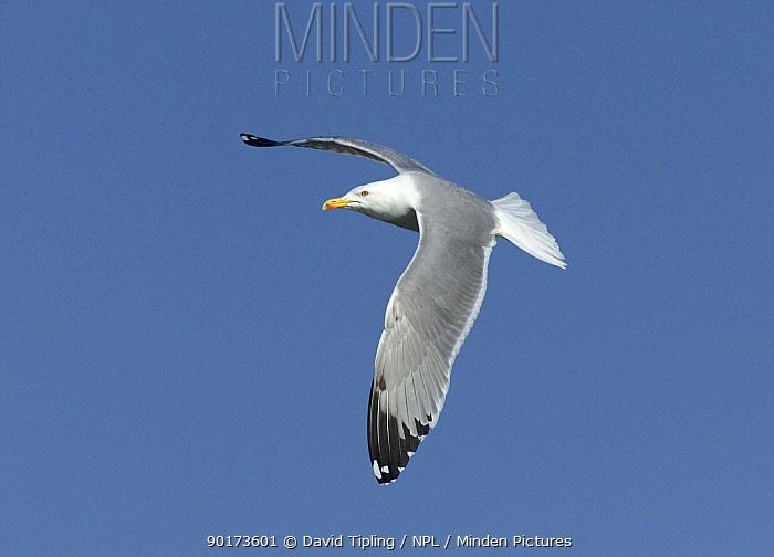 Yellow legged Gull (Larus cachinnans) in flight, Lake Kerkini, Greece  -  David Tipling/ npl