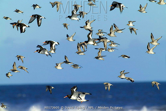 Knot, Oystercatchers, Dunlin and Purple Sandpipers arriving at roost, UK  -  David Tipling/ npl