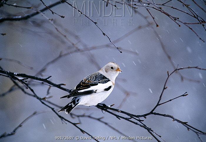 Snow Bunting (Plectrophenax nivalis) male perching in winter, Cairngorms, Scotland, UK  -  David Tipling/ npl