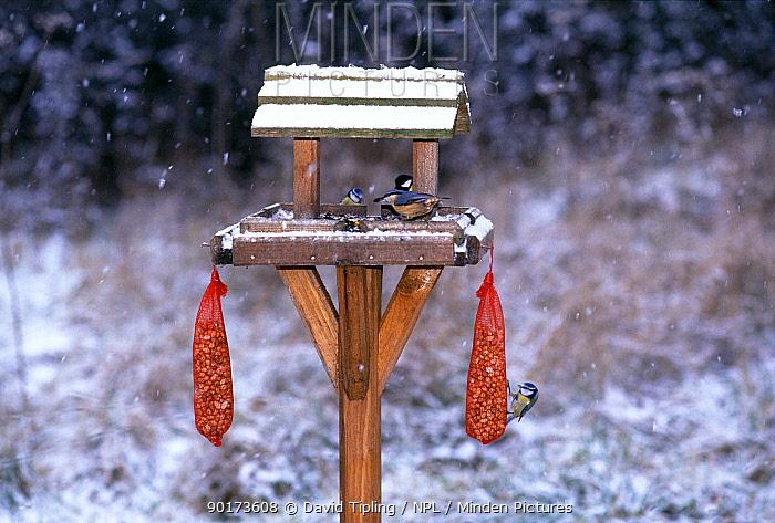 Garden birds including Blue Tits (Parus caeruleus) and Nuthatch (Sitta europaea) on bird table, UK  -  David Tipling/ npl
