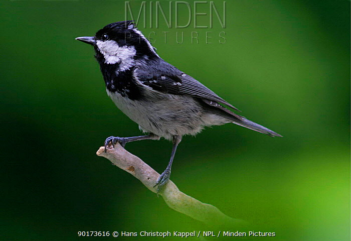 Coal tit (Parus ater) perched on twig, Europe  -  Hans Christoph Kappel/ npl