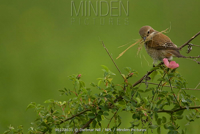 Red backed shrike (Lanius collunio) female perching with nest material, Bulgaria  -  Dietmar Nill/ npl