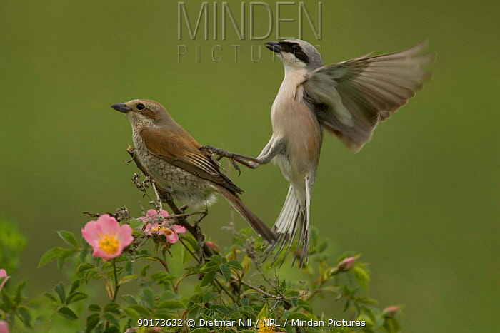 Male and Female Red backed shrike (Lanius collunio) about to mate, Bulgaria  -  Dietmar Nill/ npl