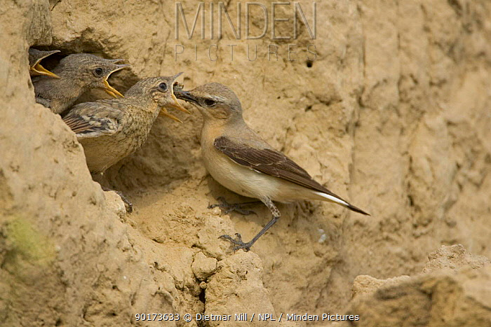 Northern wheatear (Oenanthe oenanthe) feeding chicks in nest, Bulgaria  -  Dietmar Nill/ npl