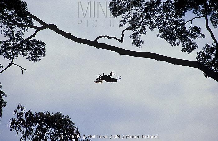 Rhinoceros hornbill flying to a branch (Buceros rhinoceros) Sabah, Borneo  -  Neil Lucas/ npl