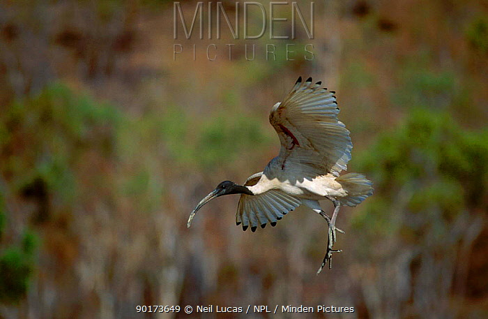Sacred ibis landing (Threskiornis aethiopicus) Townsville Australia  -  Neil Lucas/ npl