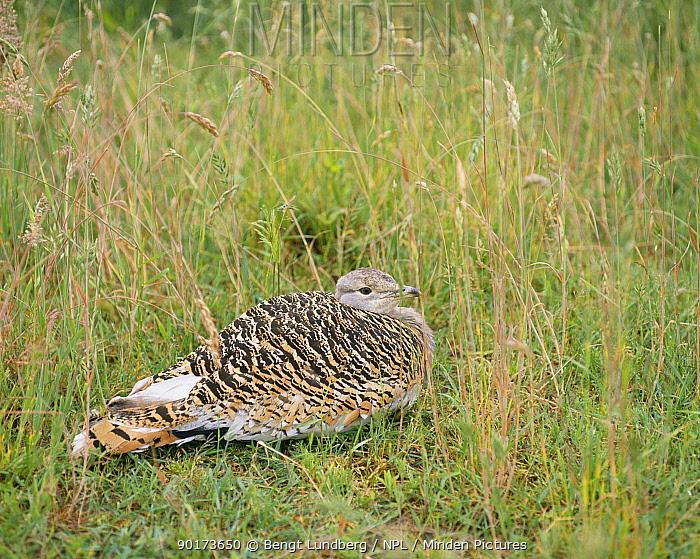 Great bustard female on nest (Otis tarda) Branderburg, German  -  Bengt Lundberg/ npl