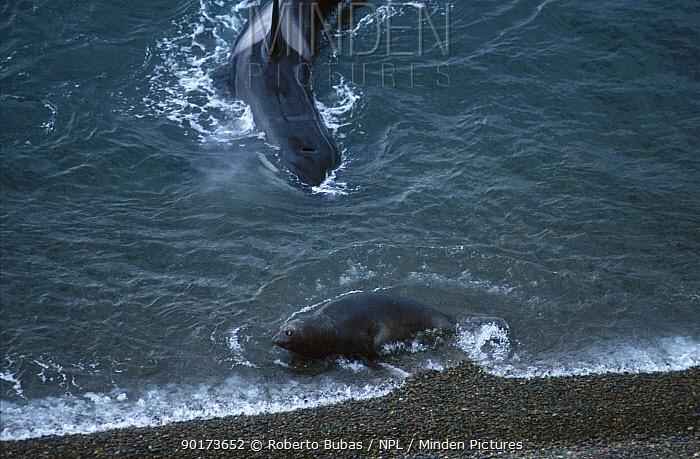 Killer whale (Orcinus orca) hunts Elephant seal (Mirounga leonina) Valdes pen Argentina  -  Roberto Bubas/ npl