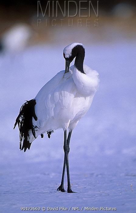 Japanese crane preening (Grus japonensis) Hokkaido Japan Feb, March  -  David Pike/ npl