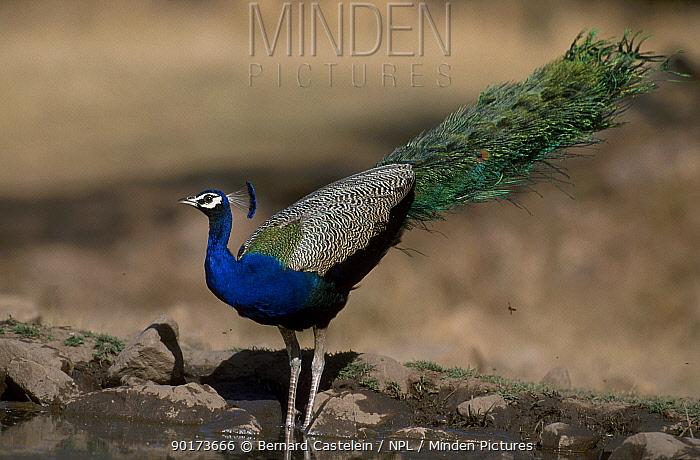 Common peafowl drinking at pool (Pavo cristatus) Sariska National Park Rajasthan India  -  Bernard Castelein/ npl