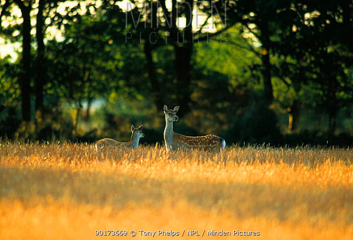 Sika deer female with young in corn field (Cervus nippon) Purbeck, Dorset, UK  -  Tony Phelps/ npl