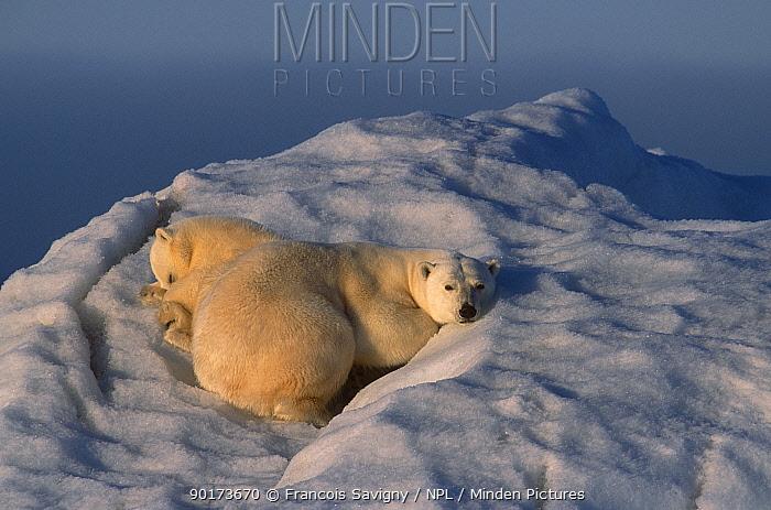 Polar bear cub on drifting iceberg (Ursus maritimus) summer Svalbard Norway  -  Francois Savigny/ npl