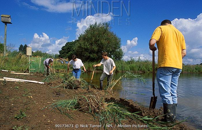 Volunteers create reed beds for Bitterns Chew valley Somerset UK  -  Nick Turner/ npl