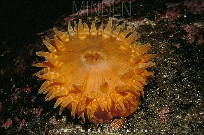 Dahlia anemone tentacles open (Tealia felina) Josenfjord, Norway  -  Florian Graner/ npl