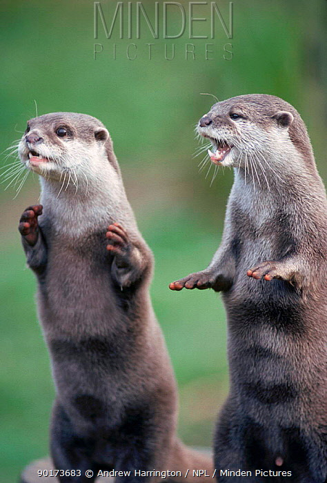 Oriental small clawed otters (Aonyx cinerea) captive from Asia  -  Andrew Harrington/ npl