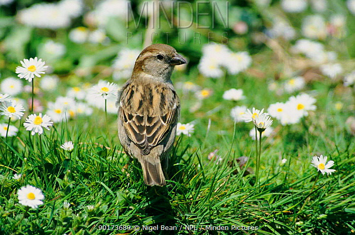 Common, House sparrow female in spring (Passer domesticus) England, UK  -  Nigel Bean/ npl