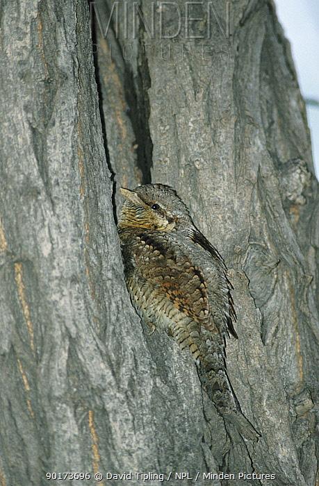 European wryneck camouflaged on tree trunk (Jynx torquilla) UK  -  David Tipling/ npl