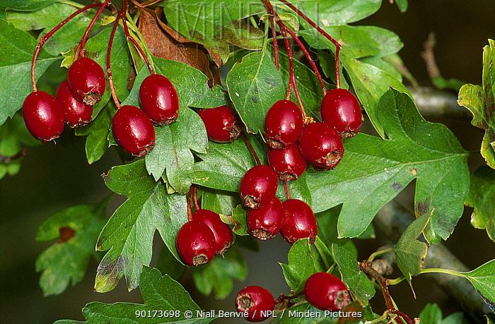 Hawthorn berries (Crataegus monogyna) UK  -  Niall Benvie/ npl