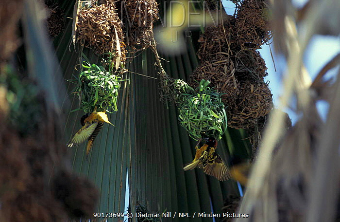Village weaver birds making nests (Ploceus cucullatus) The Gambia  -  Dietmar Nill/ npl
