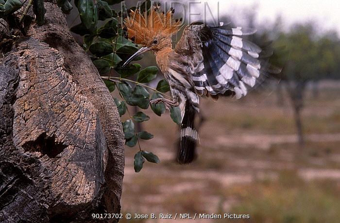 Hoopoe flying to nest with food (Upupa epops) Spain  -  Jose B. Ruiz/ npl