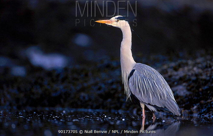 Grey heron (Ardea cinerea) fishing on foreshore Scotland UK  -  Niall Benvie/ npl