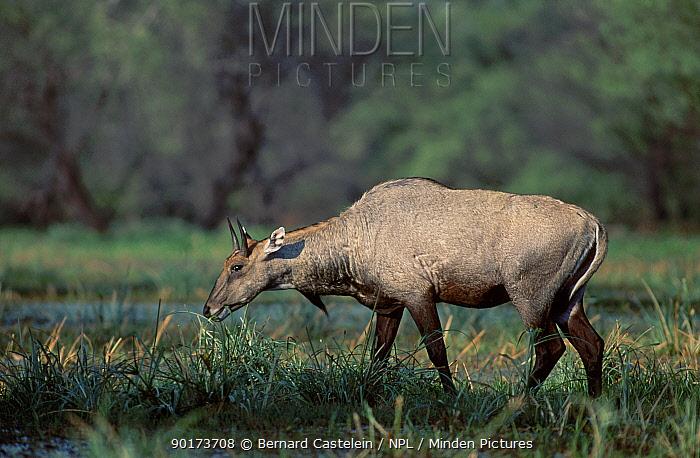 Nilgai grazing (Boselaphus tragocamelus) Keoladeo NP Ghana India  -  Bernard Castelein/ npl