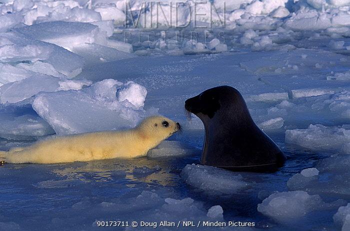 Harp seal with pup on melting ice (Phoca groenlandicus) St Lawrence Gulf Canada  -  Doug Allan/ npl
