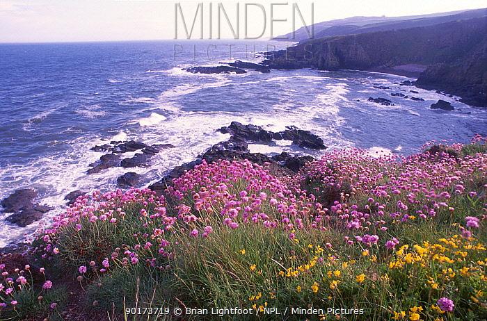 Thrift on sea cliffs (Armeria maritima) Montrose Scotland UK  -  Brian Lightfoot/ npl