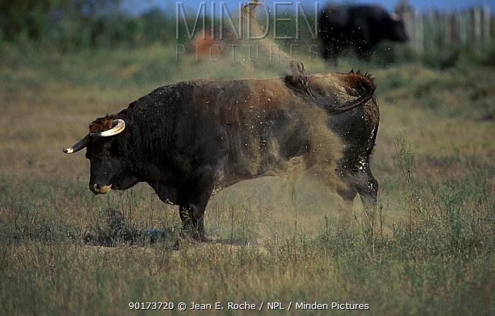 Spanish bull using dust to repel flies (Bos taurus) Camargue France  -  Jean E. Roche/ npl