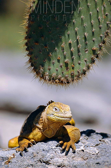 Land iguana with cactus (Conolophus subcristatus) Plaza, Galapagos  -  Bernard Castelein/ npl