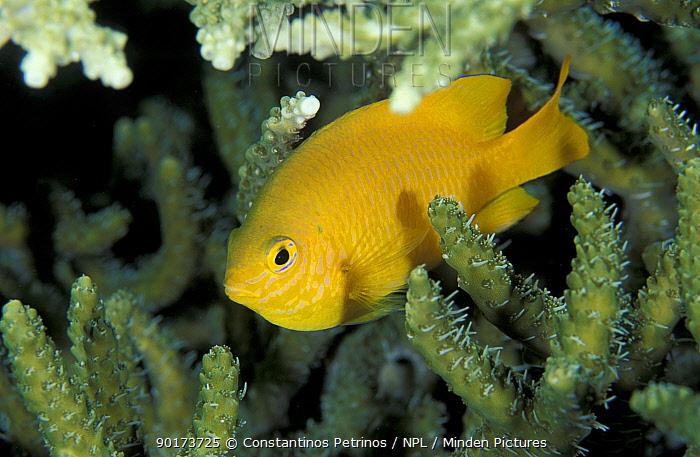 Ambon Damselfish (Pomacentrus amboinendsis) Sulawesi, Indonesi  -  Constantinos Petrinos/ npl