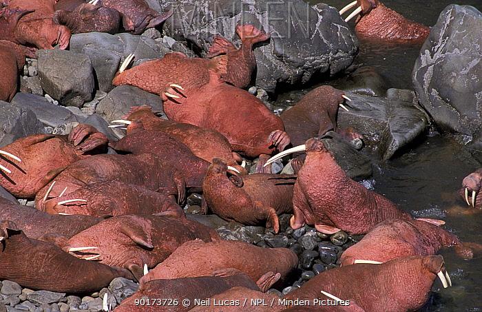 Walrus group hauled out on shore (Odonbenus rosmarus) Round Island, Alaska  -  Neil Lucas/ npl