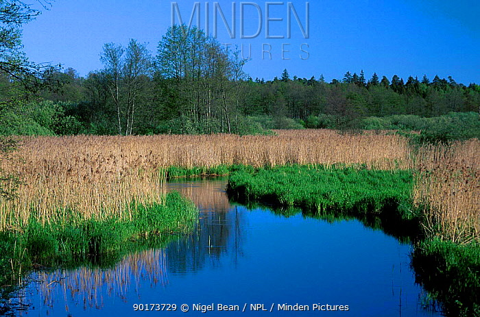 River scene with reed swamp bordering Bialowieza forest Poland  -  Nigel Bean/ npl