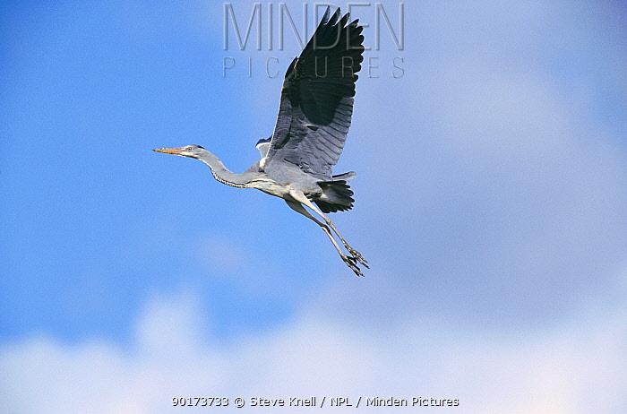 Grey heron flying (Ardea cinerea) Yorkshire, UK  -  Steve Knell/ npl