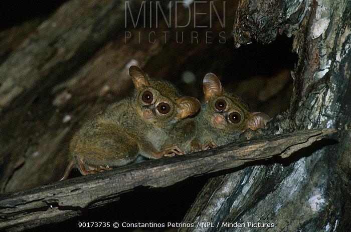 Spectral tarsier pair (Tarsius spectrum) North Sulawesi Indonesia  -  Constantinos Petrinos/ npl